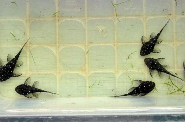 uzgoj loricariidae
