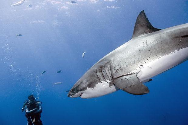гигантские акулы