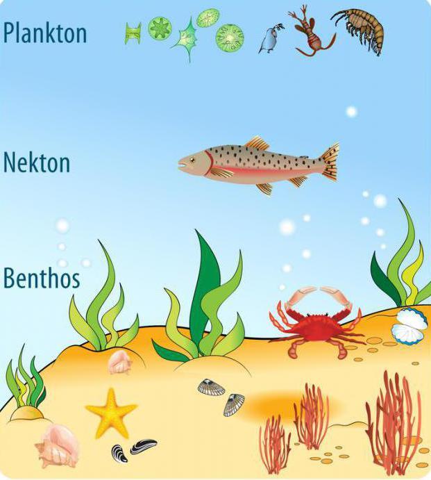 Bentos - i ... Plankton, nekton, bentos