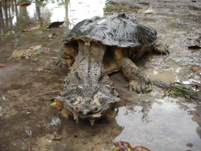 Matamata Turtle: izgled i zanimljivosti