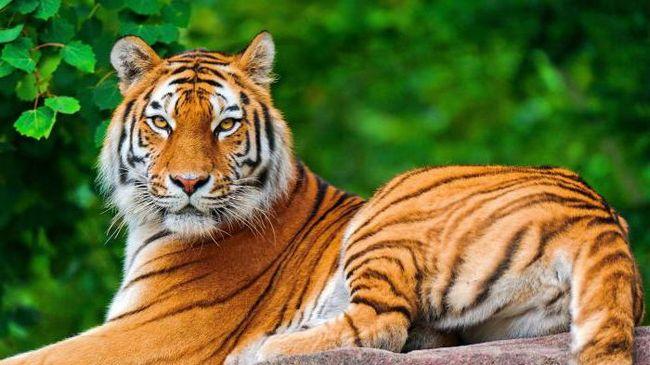 sanjati tiger