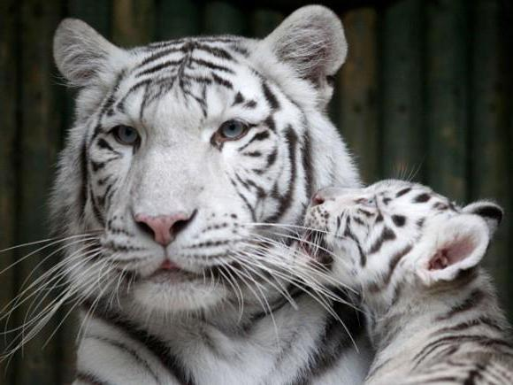 vidjeti tigrove sanjati