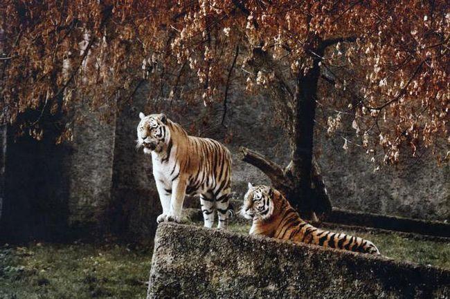 White Tiger u snu