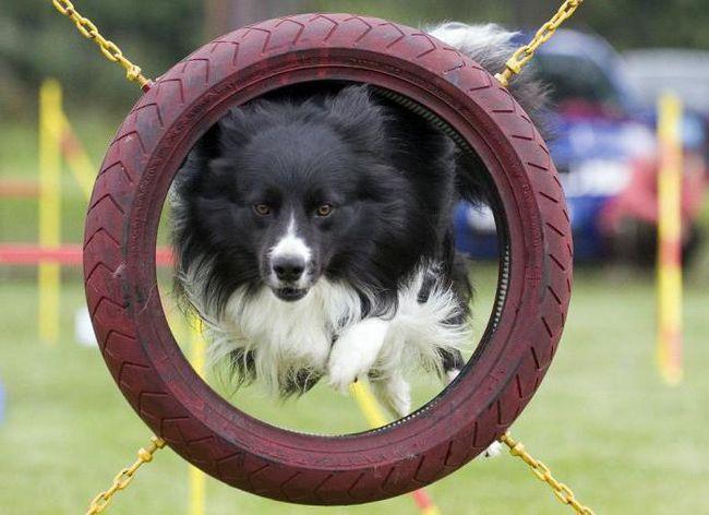 Što je agilnost? Agilnost za pse u Rusiji: pravila takmičenja rundi, staza