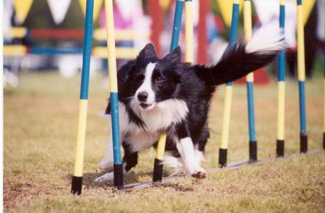 trening agilnosti psi
