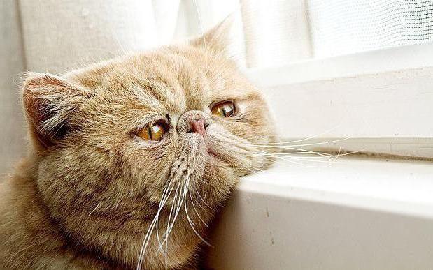 Гепатит у кошки: симптомы, лечение, прогноз