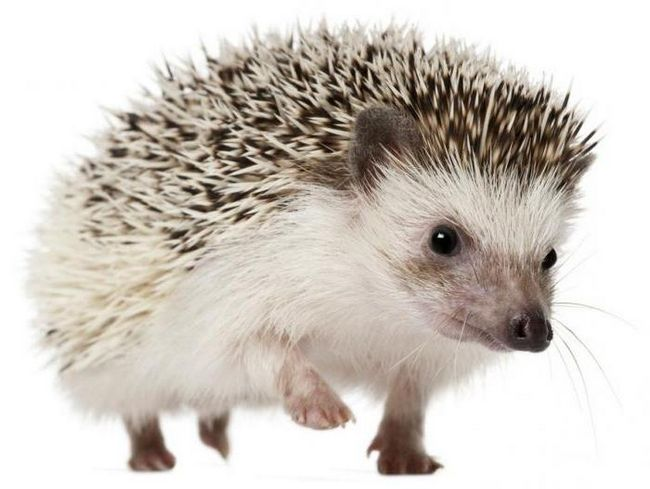 dati ime ježa