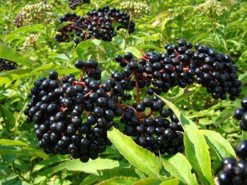 ядовитые фрукты список