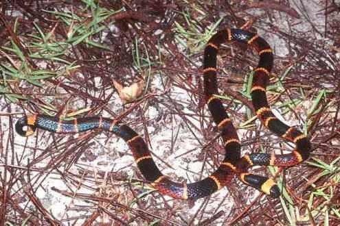 zmija vrsta