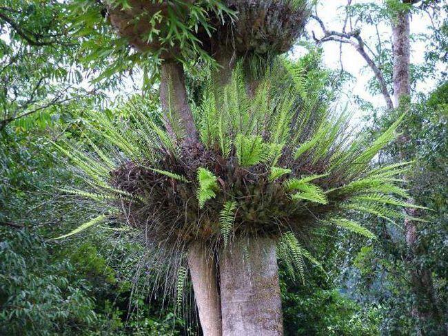 Epiphyte (biljka): šta je to i gdje raste