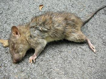 šta dreams mrtvog pacova
