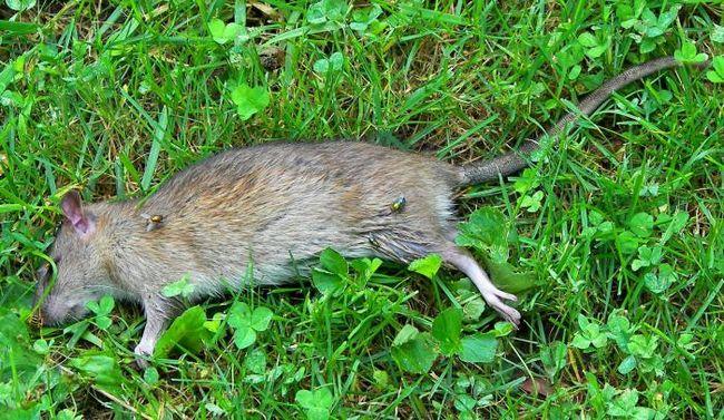 šta snove mrtvog pacova i miša