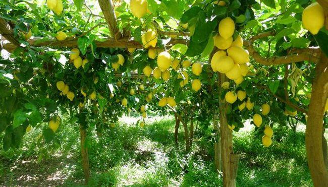 Zašto san limuna: sanovnik