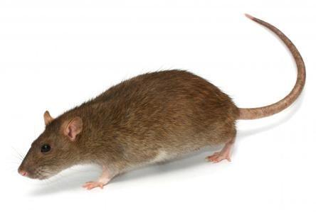 kako da riješi štakora u stanu