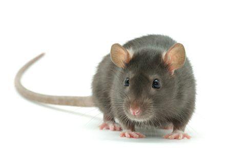 Ultrazvuk rastjerivač štakora