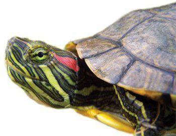 Как отличить черепаху мальчика от девочки: выбираем красноухого питомца