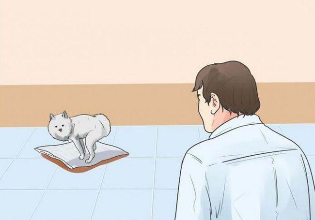 как приучить собаку к пеленке шпица