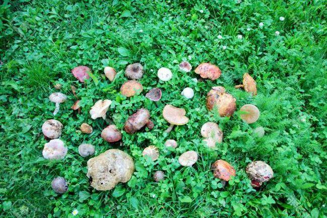 Kako odabrati gljive: jestive i nejestive u regiji Kharkiv