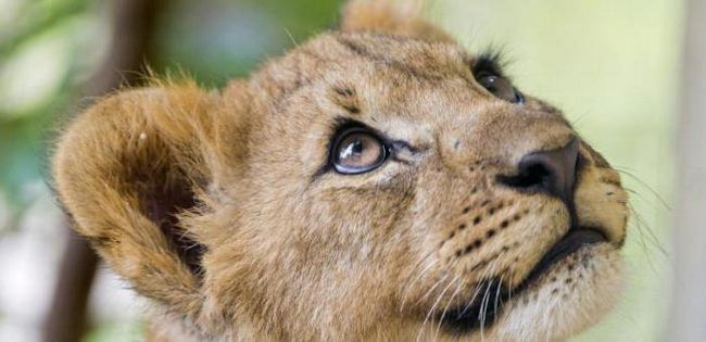 opis lav mark