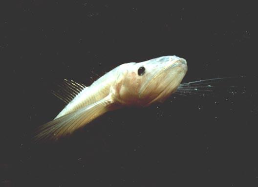 какая самая жирная рыба