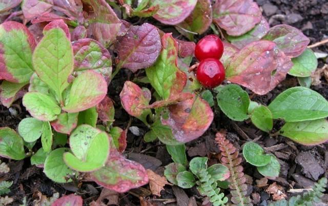 Клоповка (ягода): лечебные свойства и отзывы