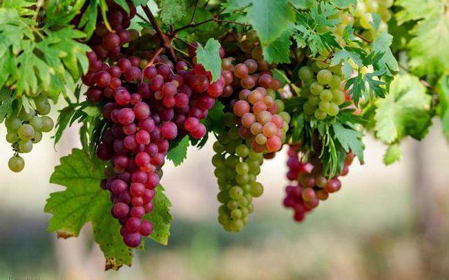 С какого возраста детям можно давать виноград?