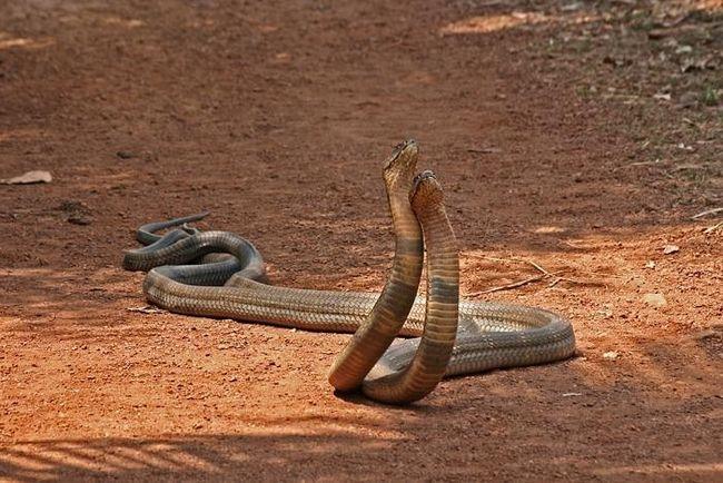 Cobra kraljevski
