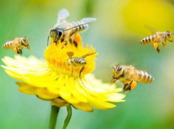 Лесной мед - элитный продукт. Полезные свойства и применение