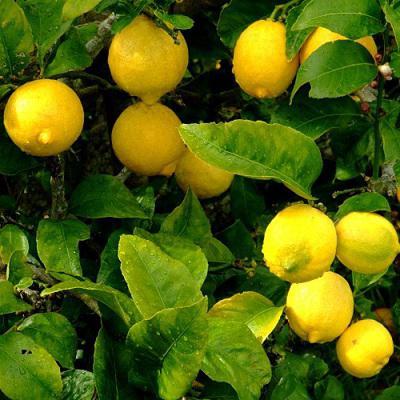 Лимон для лица: применение и отзывы