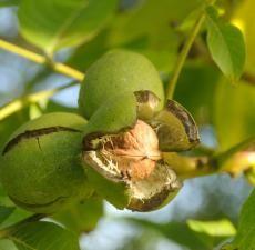 Orahovo ulje: korisna svojstva i područje primjene