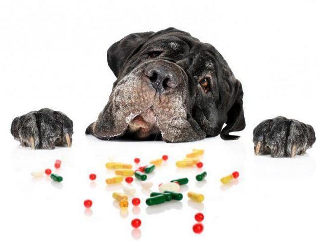 Мастоцитома у собак (тучноклеточная опухоль у собак). Что это за болезнь? Причины, лечение, прогноз