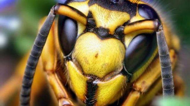 Uterus Hornet: opis, dimenzije. hornets gnijezdo. Ono što je opasno za čovjeka Hornet