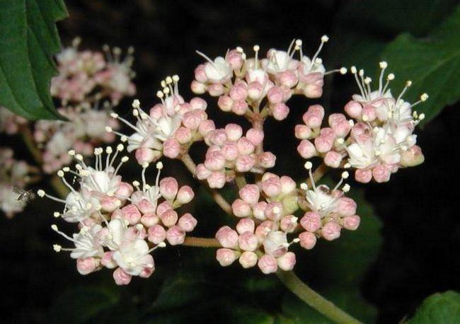 Мед чернокленовый: полезные свойства и противопоказания