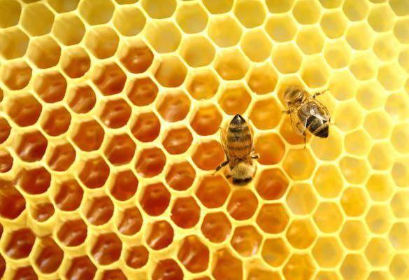 Мед диких пчел: лечебные свойства, показания к применению