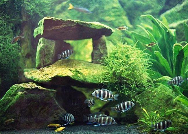 Неприхотливые аквариумные растения: наяс, элодея, роголистник, кабомба