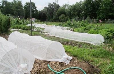Greenhouse Snowdrop, recenzije vrtlari
