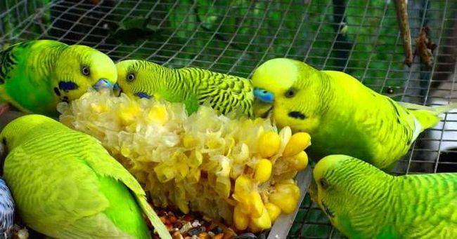 волнистый попугай питание