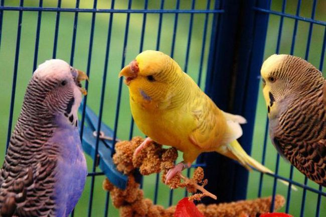 правильное питание для волнистых попугаев