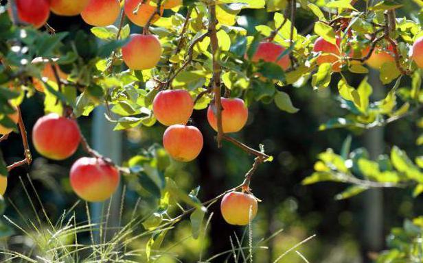 Cijepljenje jabuke na ručki kolovoza i drugim metodama