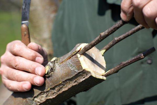 tehnologija presađivanje stabala jabuka u kolovozu
