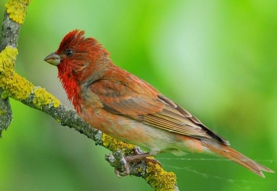 sočivo ptica
