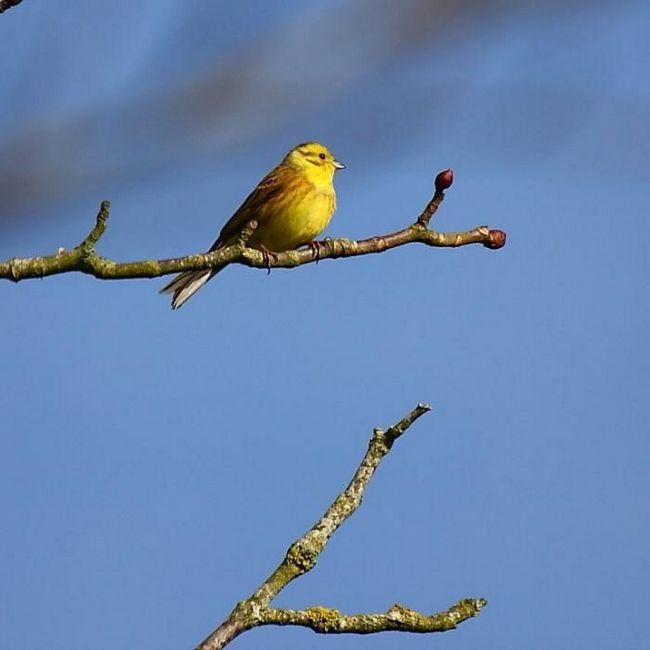 bunting ptica