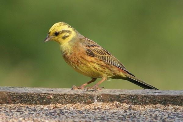 bunting ptica pjevanje