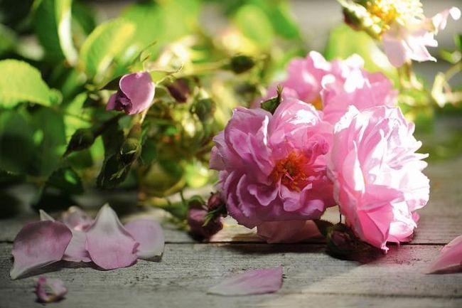 дамасская роза фото