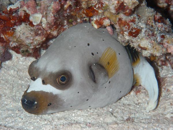 Рыба-собака отряда иглобрюховых