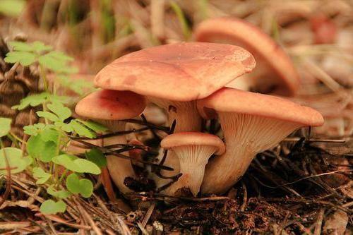 Đumbir bor: opis, u kojem se nalaze, kad se okupili. gljive gljive