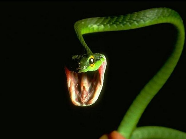 Самая опасная змея