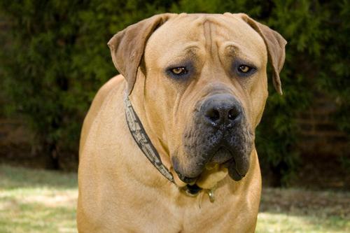 самая злая порода собаки