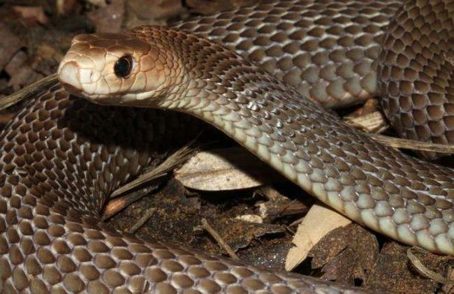 змеи Австралии