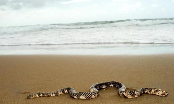 самая ядовитая змея Австралии